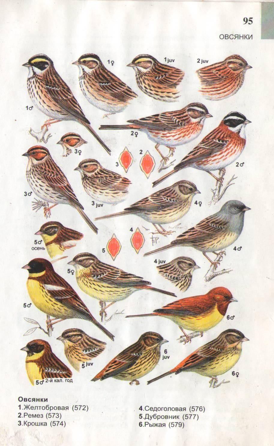 зимних птиц с названиями